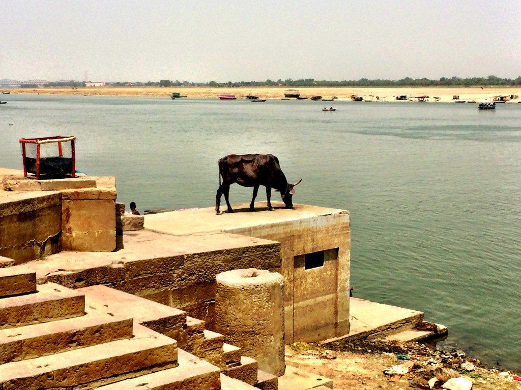 A Lone Cow in Varanasi