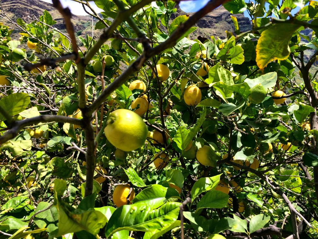 Lemons in Bodega Los Berrazales