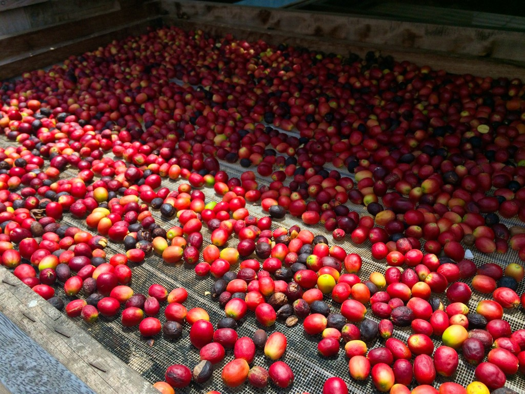 Coffee cherries in Bodega Los Berrazales