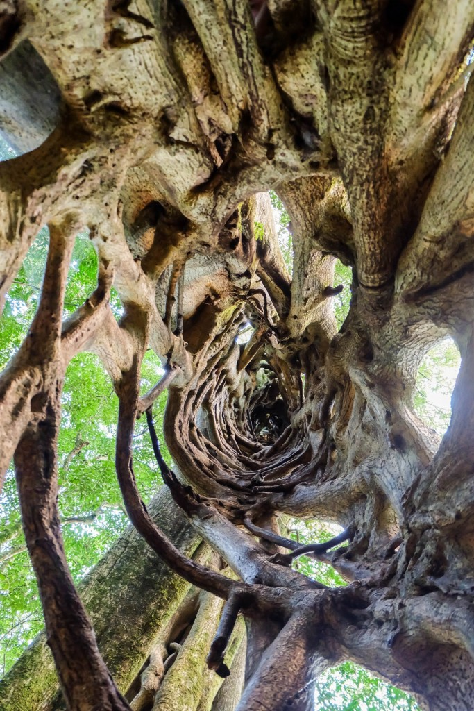 Monteverde Ficus Tree